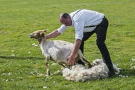 Shearer machine shearing the ...