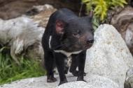 Tasmanian devil (Sarcophilus ...