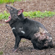 Wounded Tasmanian devil (Sarc...