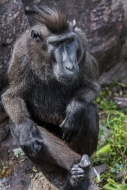 Celebes crested macaque / cre...