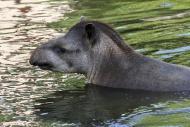 South American tapir / Brazil...