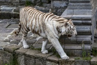 White tiger / bleached tiger ...