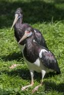 Abdim\'s stork / white-bellie...