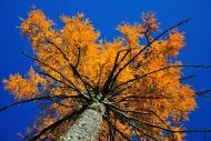 Larch (Larix), autumn, Bavari...