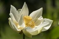American lotus flower (Nelumb...