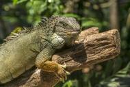 Green Iguana, La Vanille Natu...