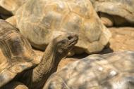 Aldabra Giant Tortoise (Aldab...