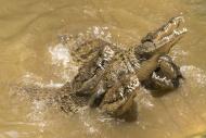 Feeding of Nile crocodiles, L...