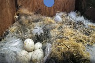 Abandoned clutch of eggs of E...