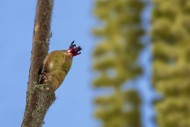 Common hazel (Corylus avellan...
