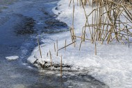 Reed stems along pond / lake ...