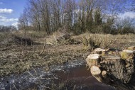 Trimmed willow trees and bund...