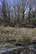 Trimmed willow trees in marsh...