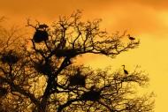 Grey herons (Ardea cinerea) b...