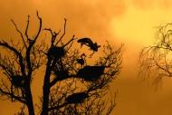 Grey heron (Ardea cinerea) la...