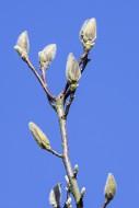Magnolia pegasus (M. cylindri...