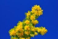Blossom of the silver acacia ...