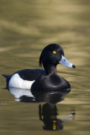 Tufted duck (Aythya fuligula)...