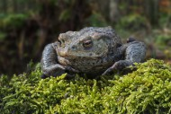 Common toad / European toad (...