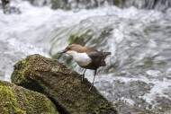 White-throated dipper / Europ...