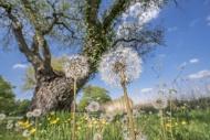 Seed heads of common dandelio...