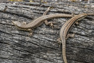Two common wall lizards (Poda...