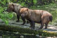 Two bush dogs (Speothos venat...