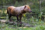 Bush dog (Speothos venaticus)...