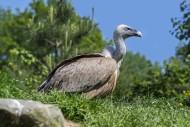 Griffon vulture / Eurasian gr...