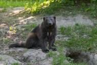 Wolverine (Gulo gulo) sitting...