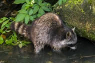North American raccoon (Procy...