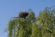 White stork (Ciconia ciconia)...