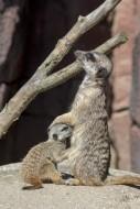 Meerkat / suricate (Suricata ...
