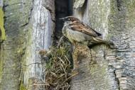House sparrow (Passer domesti...