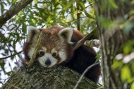 Curious red panda / lesser pa...