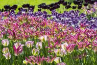 Flowerbed with colourful tuli...
