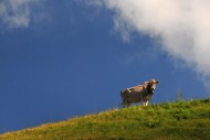 Cows on an alp in the Allg�u,...