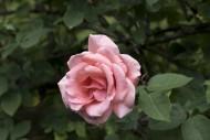 Rosa Chaplins Pink, climber. ...