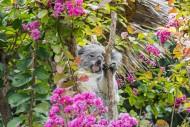 Koala (Phascolarctos cinereus...