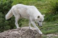 Lone Canadian Arctic wolf / w...