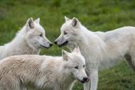 Close up of three Arctic wolv...