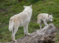 Two Canadian Arctic wolves / ...