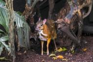 Lesser mouse-deer / kanchil /...