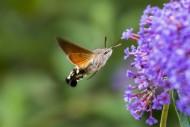 Hummingbird hawk-moth (Macrog...