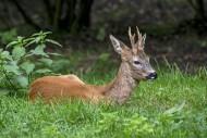European roe deer (Capreolus ...