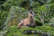 Pyrenean chamois (Rupicapra p...