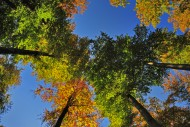 Autumn forest from below, Wes...