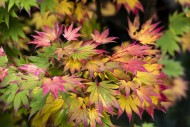 Acer Shirasawanum, japonicum....