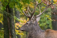 Red deer (Cervus elaphus) sta...