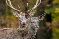 Red deer (Cervus elaphus) fem...